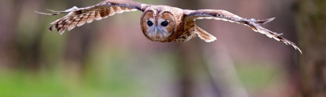 picture of an owl in flight
