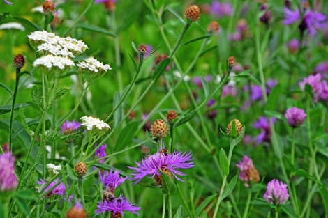 picture of wildflowers such as those to be seen at Cae Blaen-dyffryn SSSI