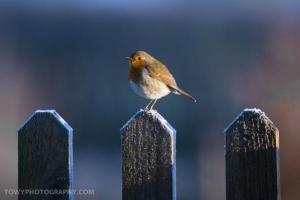 photo of robin in winter, copyright David Rice
