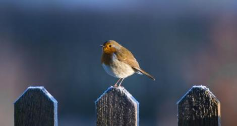 Robin, Towy Photography, copyright David Rice