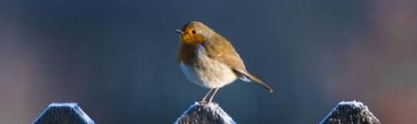 Robin, Towy Photography, copyright David Rice