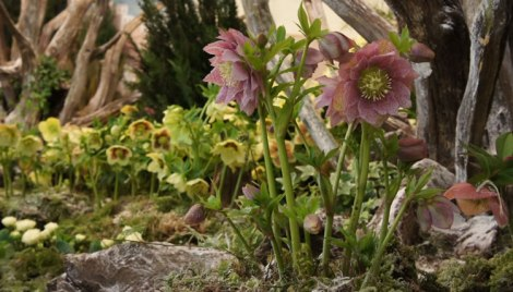 Hellebores on display